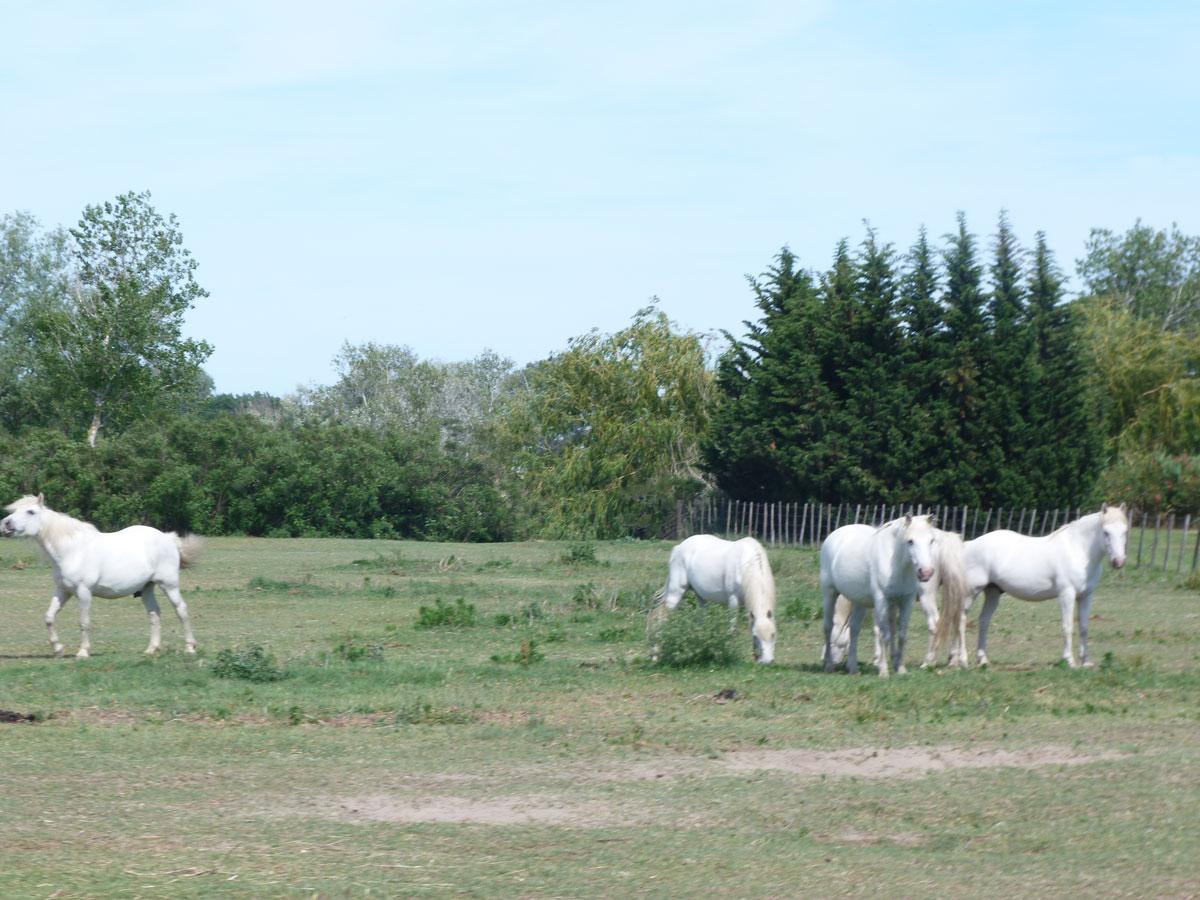 paysage-de-chevaux-en-camargue